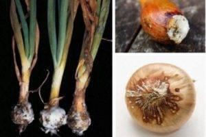 Ложная мучнистая роса, или пероноспороз лука
