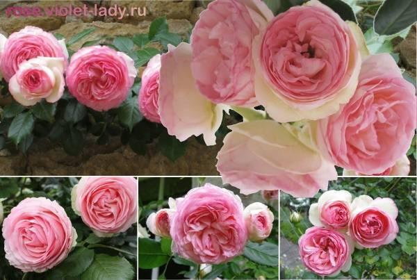 Роза пьер де ронсар, описание, особенности сорта и правильная посадка