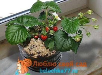 Размножение малины семенами в домашних условиях