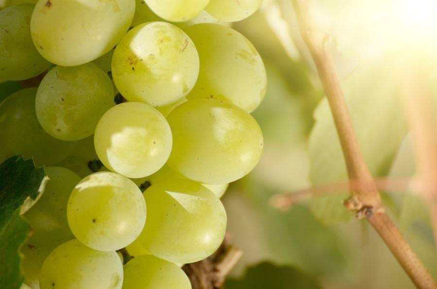 Описание и характеристики сорта винограда Алешенькин, обрезка, посадка и уход