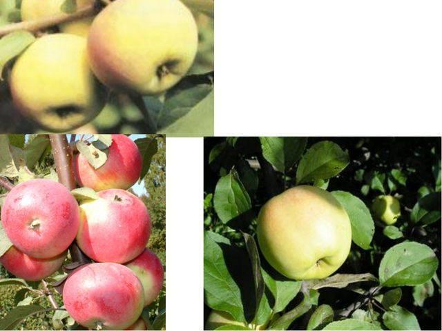 Яблоня юбиляр: особенности сорта и ухода