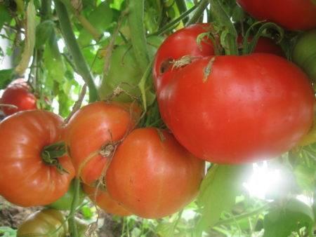 Пламя агроописание сорта томата, характеристики помидоров, посев