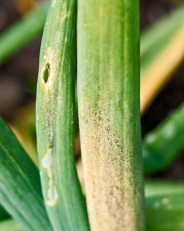 Вредители и болезни лука репчатого, способы борьбы с ними