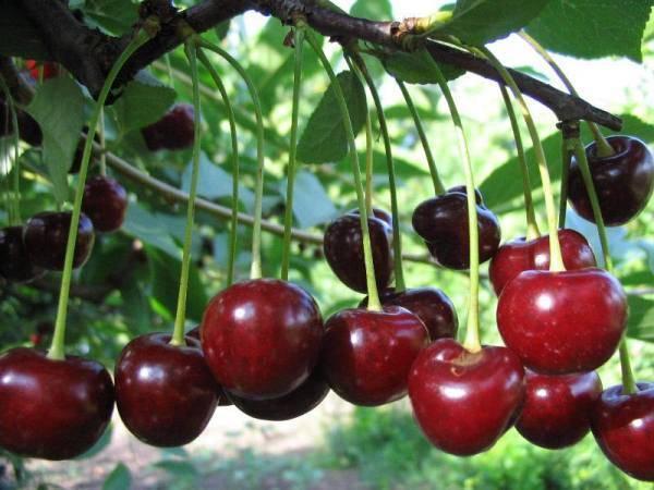 Как раскрыть весь потенциал вишни сорта жуковская