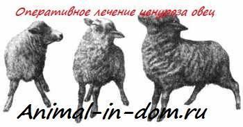 Чем опасен ценуроз у овец?