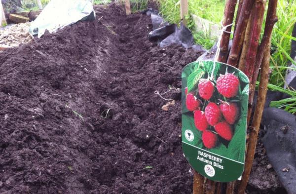 Чем подкормить малину во время созревания ягод, цветения и плодоношения