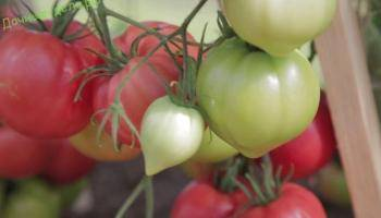 Голландский томат с русским именем «таня» — описание гибрида f1