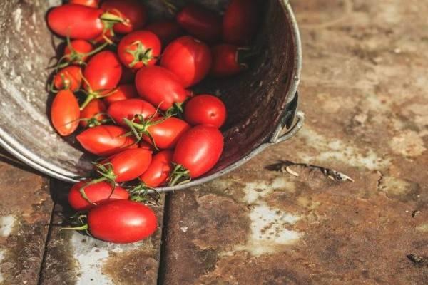 Помидоры столыпин: описание и урожайность сорта