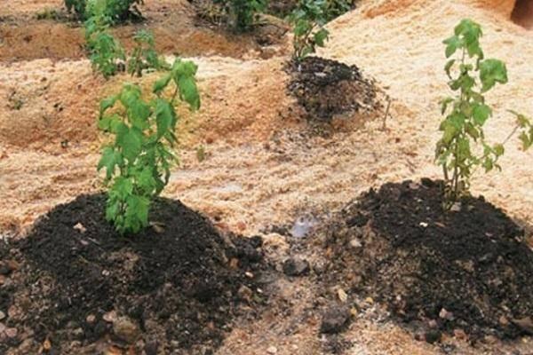 Как сажать малину в октябре, чтобы она дала обвальный урожай в начале лета