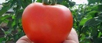 Экзотика из трансильвании: описание и способы употребления сорта томата «чесночный»