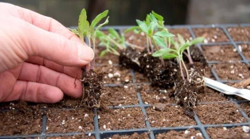 Как получить хороший урожай помидоров? принципы выращивания рассады томатов в пеленках и правила пикировки