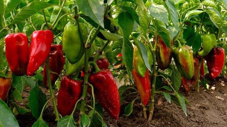 Выращивание перца в открытом грунте