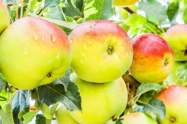 """Как посадить и вырастить яблоню сорта """"серебряное копытце"""" у себя на участке"""