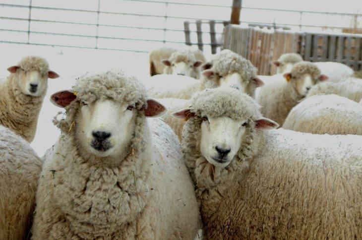Заболевания овец