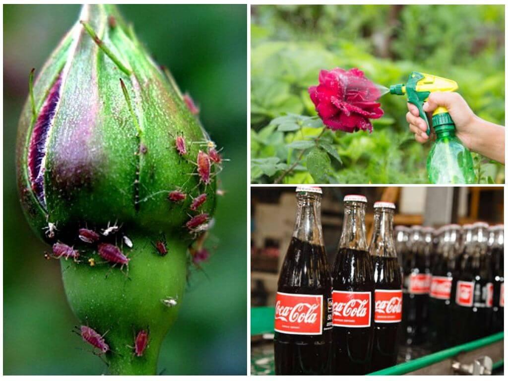 Тля на розах — как избавиться от вредителя с помощью народных средств и химикатов