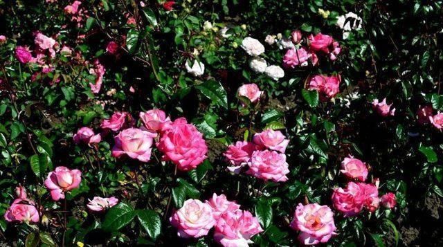 Плетистые розы: сорта, советы по выбору и уходу