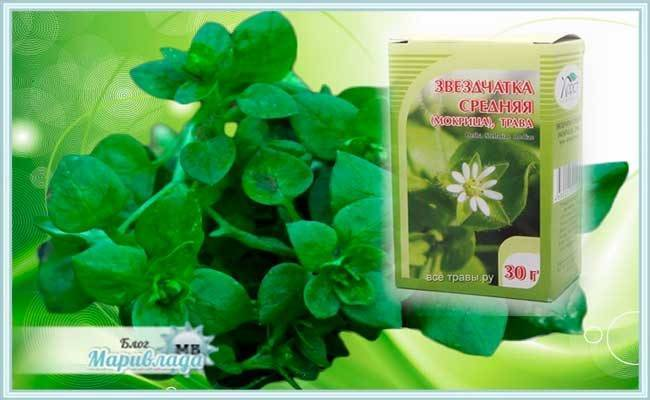 Лечебные свойства травы мокрицы в народной медицине