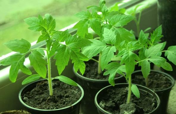 Чем подкормить рассаду помидор после пикировки и когда