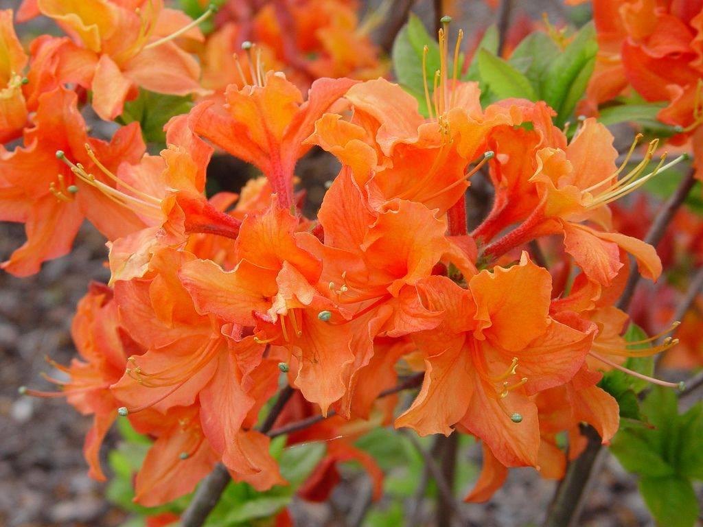 Рододендрон шлиппенбаха: выращивание из семян, уход и фото