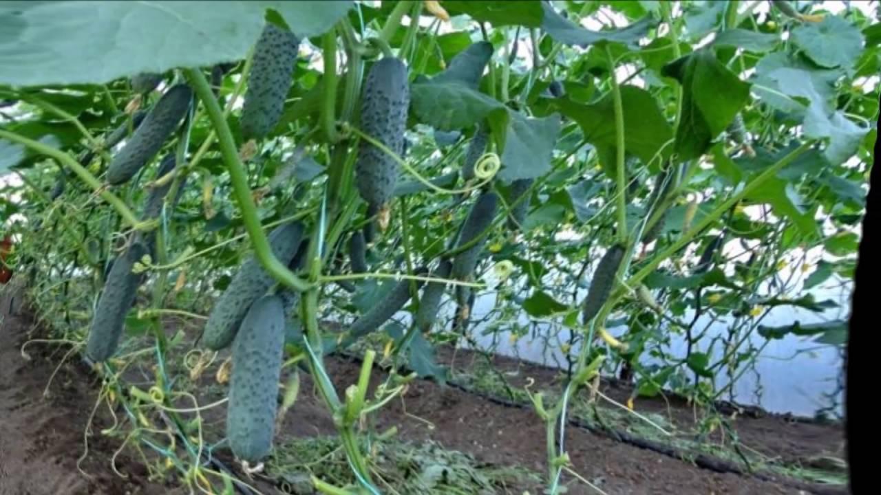 Как поливать огурцы для хорошего урожая в открытом грунте, в теплице, сколько раз