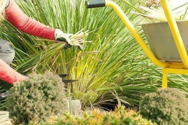 Как ухаживать за ирисами после цветения: удаление цветоносов, обрезка осенью, подготовка к зиме