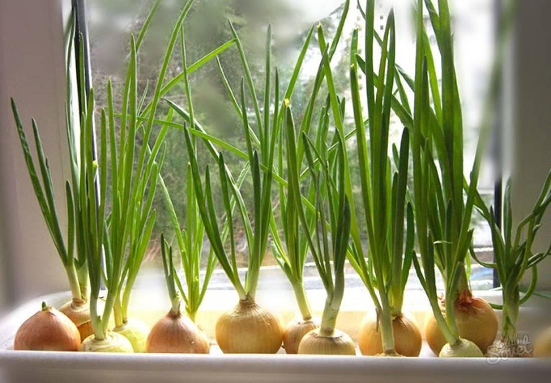 Как вырастить петрушку на подоконнике зимой из семян с фото