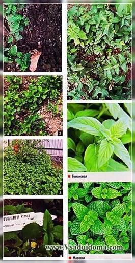 Растение под названием мята шоколадная: описание, размножение и уход в домашних условиях