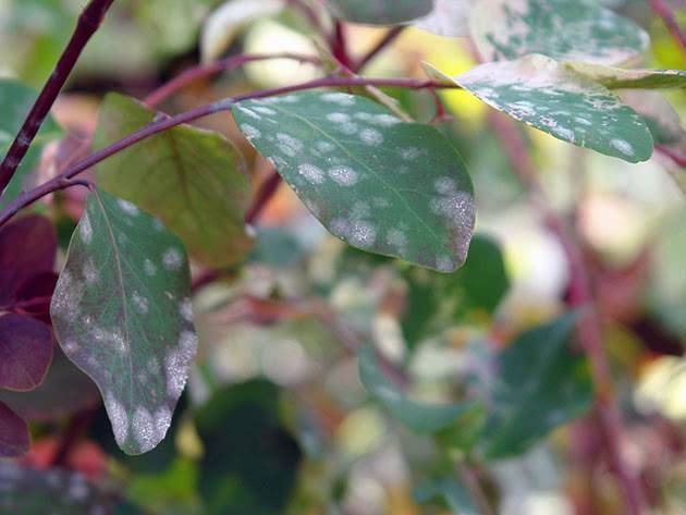 Мучнистая роса: признаки, профилактика и лечение опасной болезни