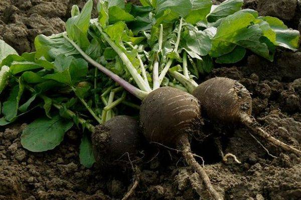 Редька – посадка, уход, выращивание и сбор урожая