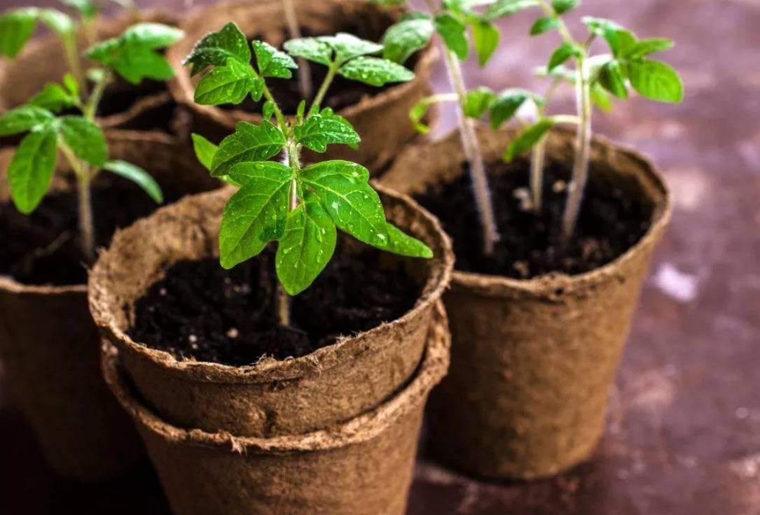Благоприятные дни для посадки помидоров на рассаду в 2020 году по луне и регионам