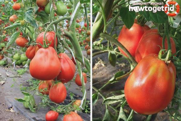 Обзор самых лучших сортов грунтовых томатов: ранние, сладкие, урожайные