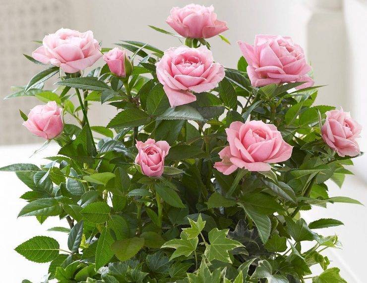 Какой уход необходим в домашних условиях за комнатной розой? возможные проблемы при выращивании