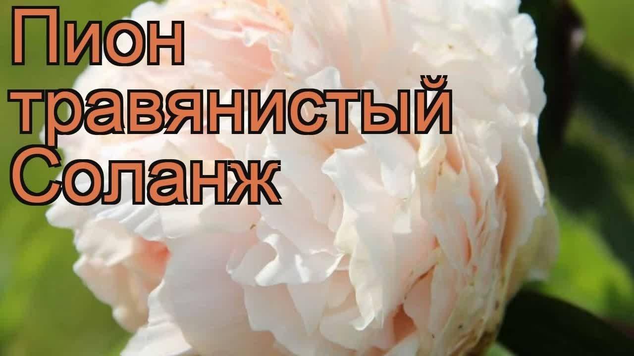 Пион пиллоу ток (paeonia pillow talk) — особенности цветка