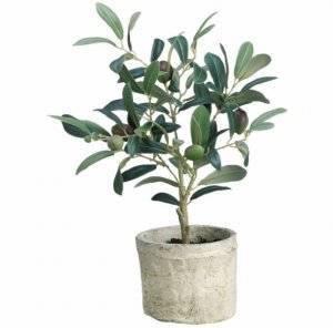 Как вырастить оливковое дерево из косточки в домашних условиях. как вырастить оливковое дерево в домашних условиях.