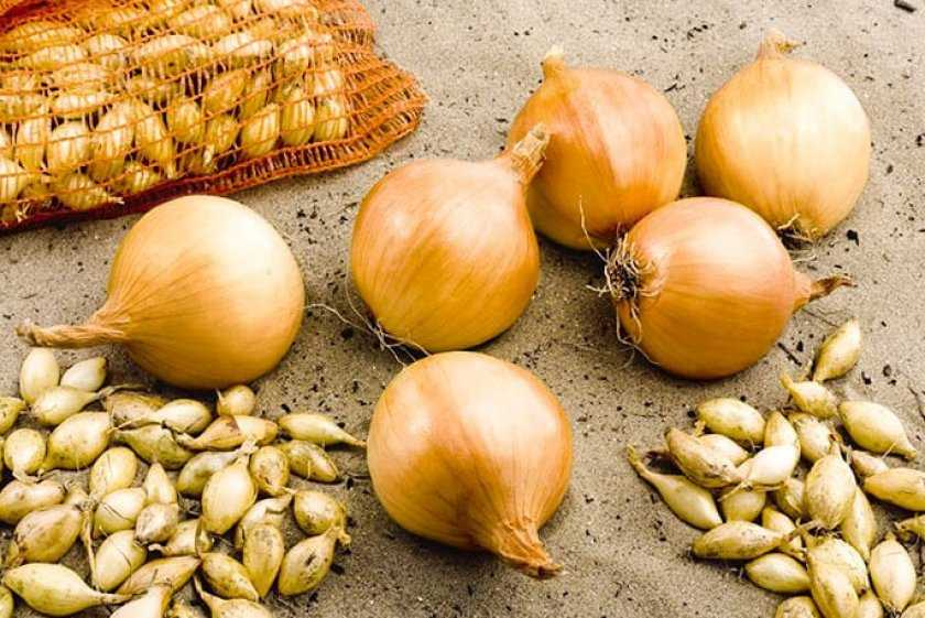 Как правильно выращивать ветвистый (китайский, душистый) лук?