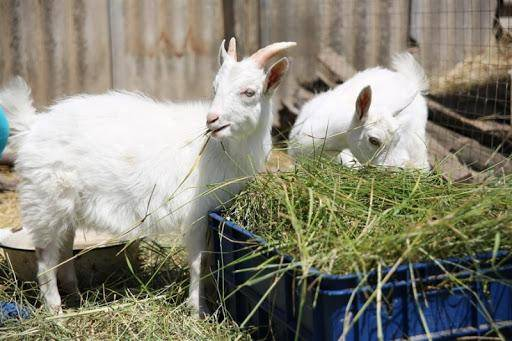 Окситоцин для козы: дозировка