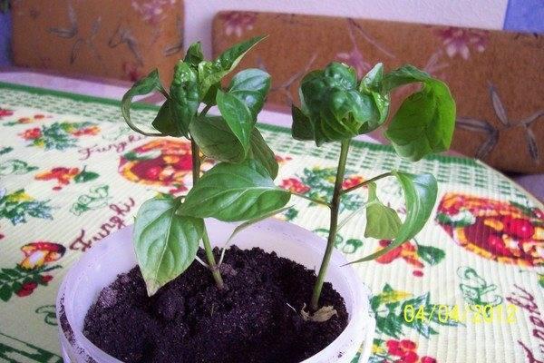 Почему скручиваются листья у рассады перца: причины, лечение, фото