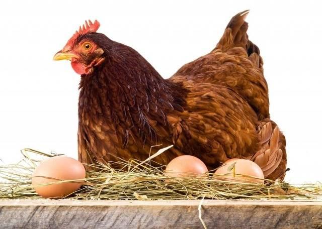 Куры-несушки: яйценоскость