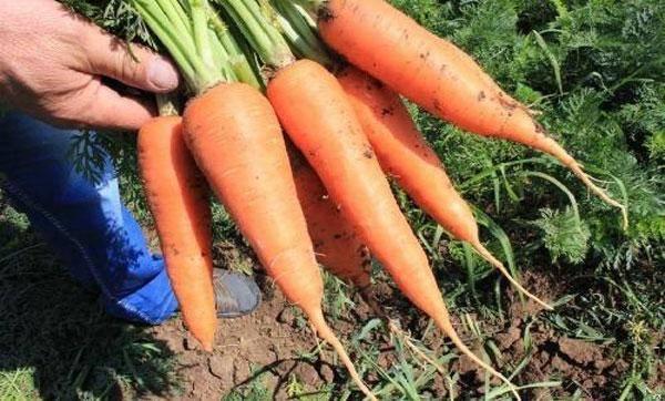 Морковь абако f1: характеристика и описание сорта
