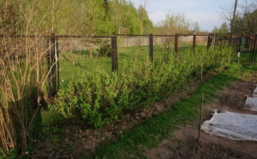 Расстояние между кустами крыжовника и смородины при посадке