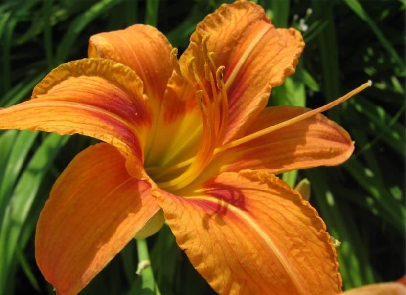 Фото с описаниями популярных сортов лилейника для выращивания в саду