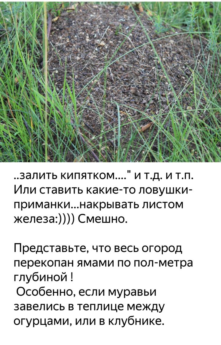 Как вывести муравьев из теплицы с огурцами народными средствами
