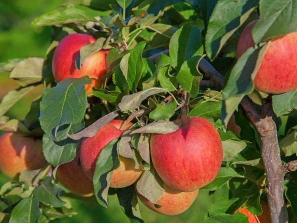 Зимняя яблоня мутсу: описание сорта
