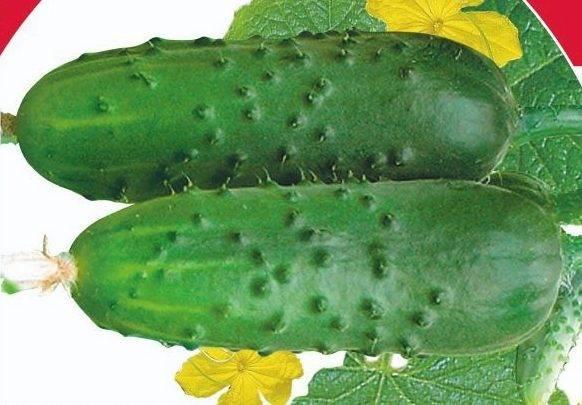 Особенности выращивания, описание и характеристики огурцов сибирская гирлянда