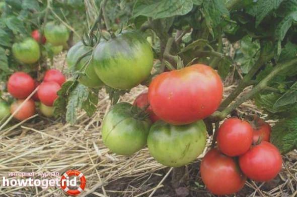Описание сорта томата сказка и его характеристика