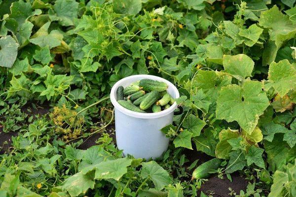 Как правильно выращивать и ухаживать за огурцами в открытом грунте
