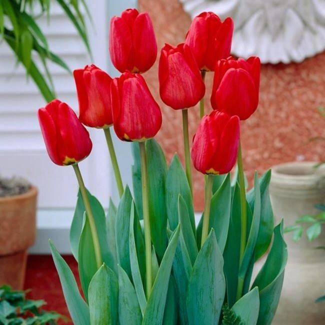 Сорта тюльпанов для выгонки
