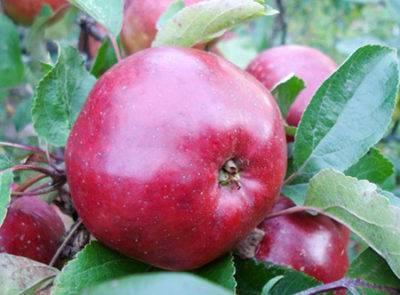 Яблоня ауксис: описание сорта и характеристики, посадка, выращивание и уход с фото