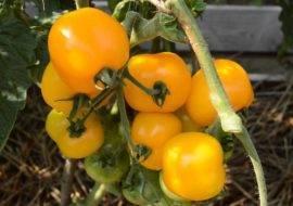 Щедрые урожаи уже в начале сезона — томат булат f1: описание сорта и особенности его выращивания