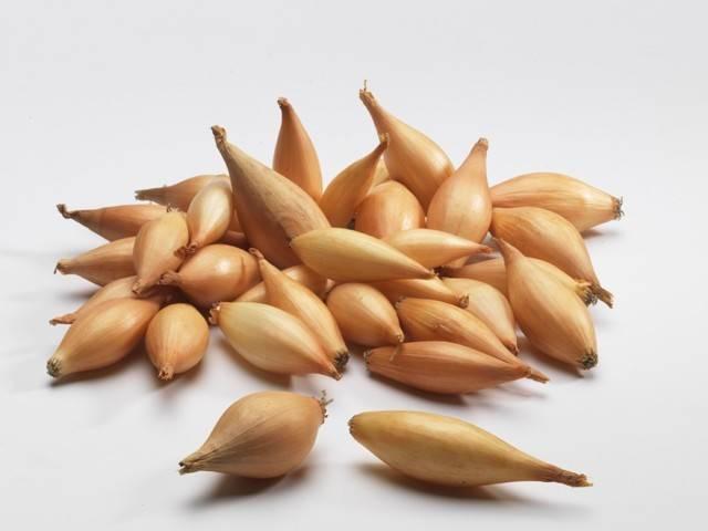 Описание сорта лука бамбергер — отзывы овощеводов